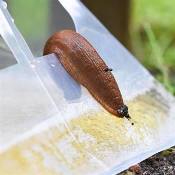 45661-2-voss.garden-slugex-slug-trap.jpg